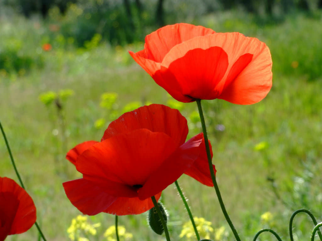 Birth month flowers and their meanings world of flowering plants the other august flower is the poppy a red poppy signifies pleasure a white poppy is given for consolation and a yellow poppy wishes wealth and success mightylinksfo