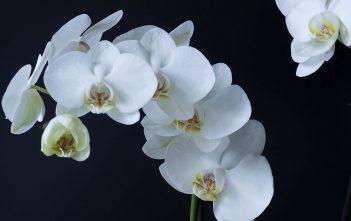 Phalaenopsis amabilis (Moon Orchid)