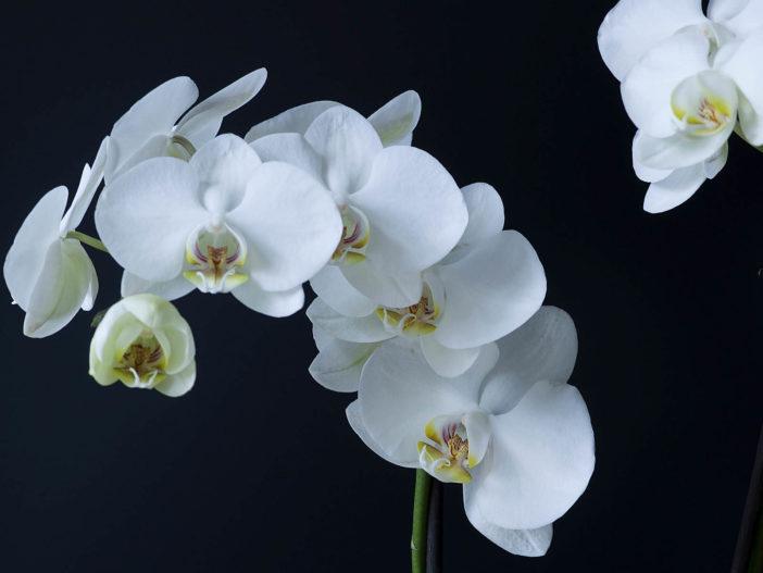 Phalaenopsis amabilis - Moth Orchid