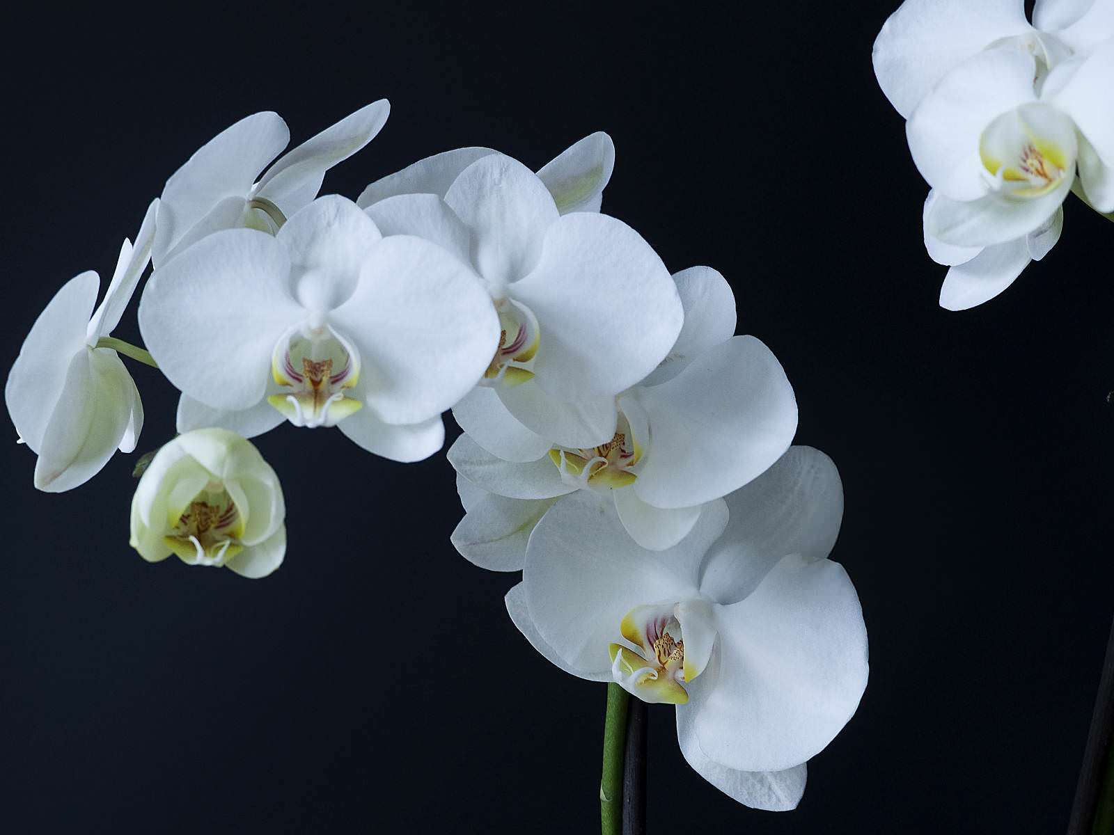 how to cut phalaenopsis orchids