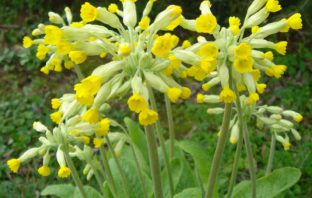 Primula veris (Common Cowslip)
