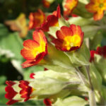 Primula veris 'Sunset Shades'