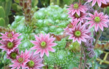Sempervivum arachnoideum - Spider Web Hens and Chicks