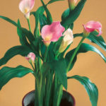 Zantedeschia rehmannii (Pink Calla Lily)
