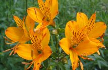 Alstroemeria aurea (Golden Lily of the Incas)