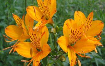 Alstroemeria aurea (Golden Lily of the Incas)