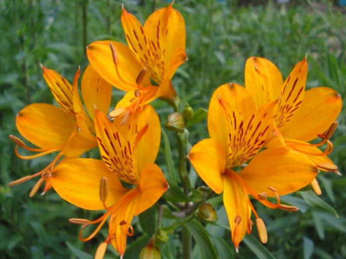Alstroemeria aurea - Golden Lily of the Incas