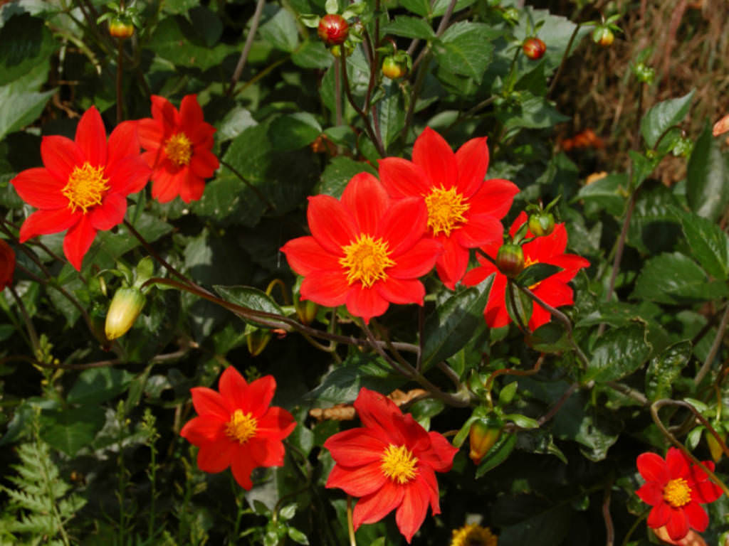 Dahlia coccinea - Red Dahlia | World of Flowering Plants