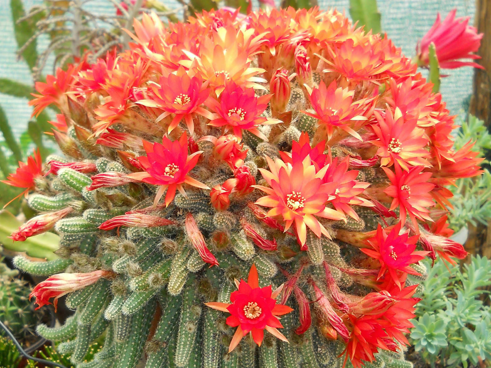 Echinopsis chamaecereus Peanut Cactus