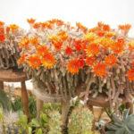 Echinopsis chamaecereus - Peanut Cactus