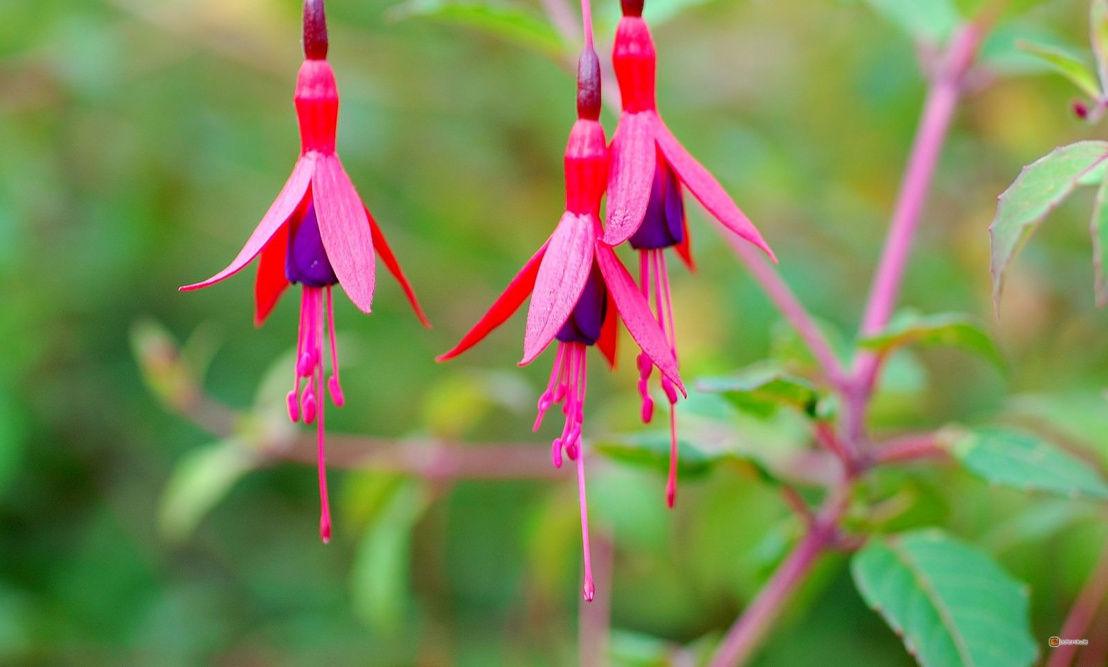 10 Amazing Pictures That Prove The Hummingbird Fuchsia Have One Of