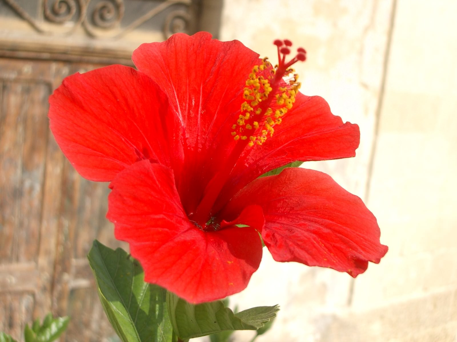 7 photos of brilliant red rose mallow the national flower of hibiscus rosa sinensis rose mallow izmirmasajfo