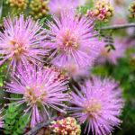 Mimosa borealis - Fragrant Mimosa
