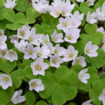 Oxalis acetosella - Common Wood Sorrel