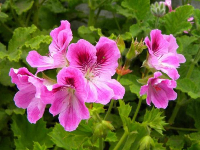 Pelargonium cucullatum - Wilde Malva
