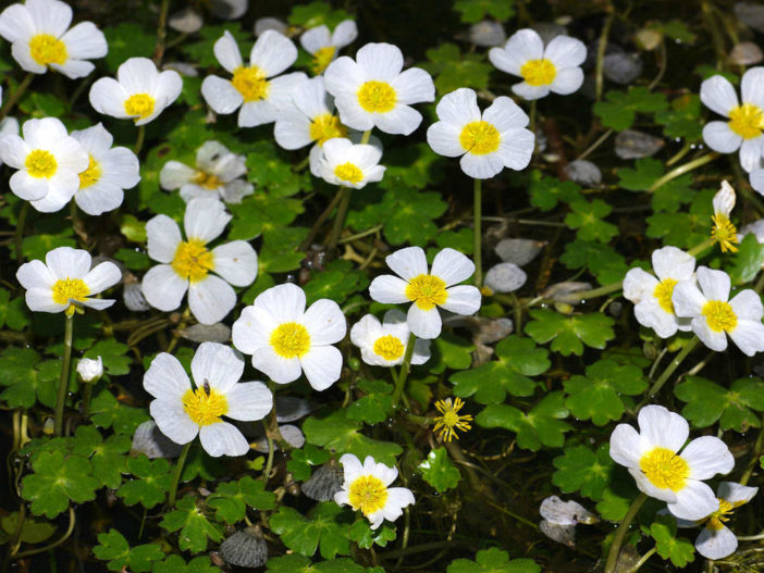 Ranunculus peltatus - Pond Water Crowfoot