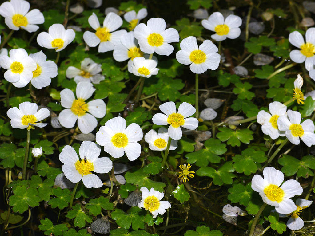 Ranunculus peltatus (Pond Water Crowfoot)