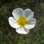 Ranunculus peltatus - Pond Water-Crowfoot