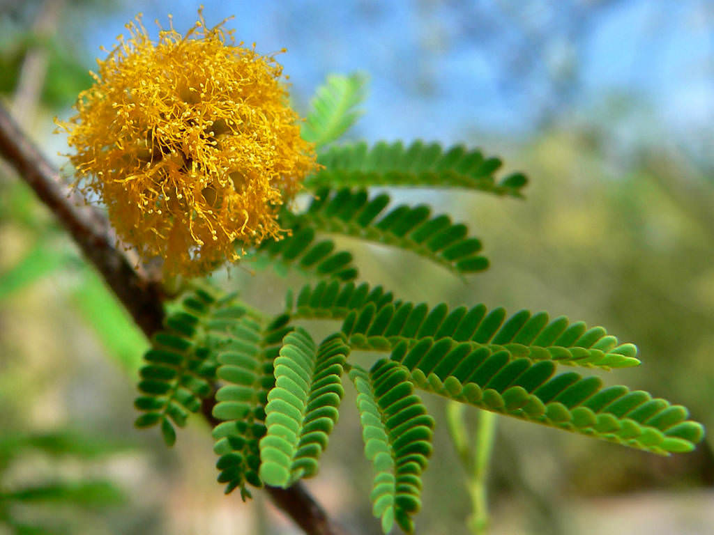 Vachellia Farnesiana Mimosa Bush World Of Flowering Plants