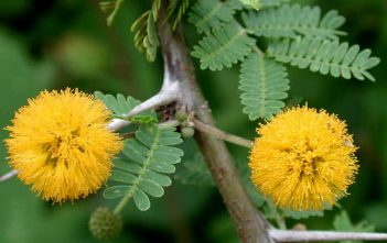 Vachellia farnesiana - Needle Bush