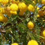Vachellia farnesiana - Mimosa Bush