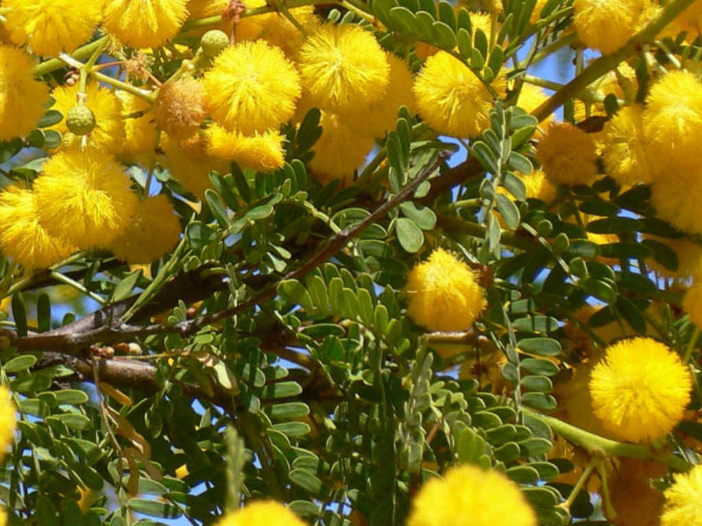 http://worldoffloweringplants.com/wp-content/uploads/2014/06/Vachellia-farnesiana-Needle-Bush3.jpg