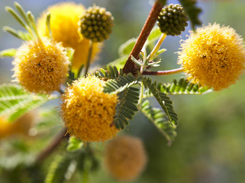 Vachellia Farnesiana Mimosa Bush World Of Flowering Plants