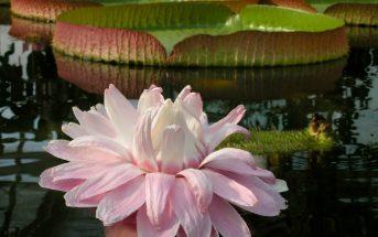 Victoria amazonica (Amazon Water Lily)
