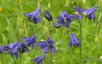 Aquilegia vulgaris - European Columbine