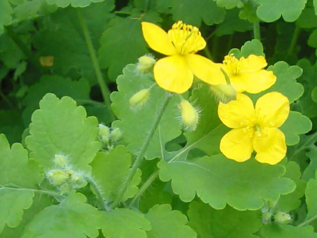 Chelidonium majus greater celandine world of flowering plants - Plante pour soigner les verrues ...