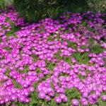 Delosperma cooperi - Pink Carpet