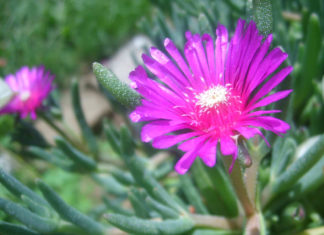 Delosperma cooperi - Trailing Ice Plant