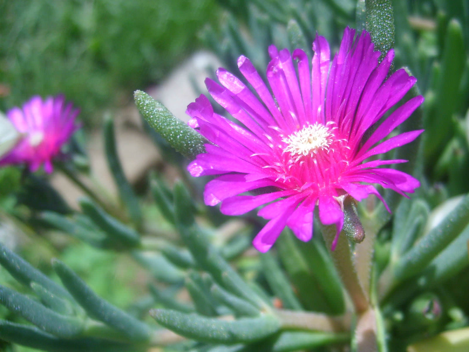 Delosperma cooperi pink carpet world of flowering plants the daisy like flowers are magenta or pink in color up to 2 inches 5 cm in diameter izmirmasajfo