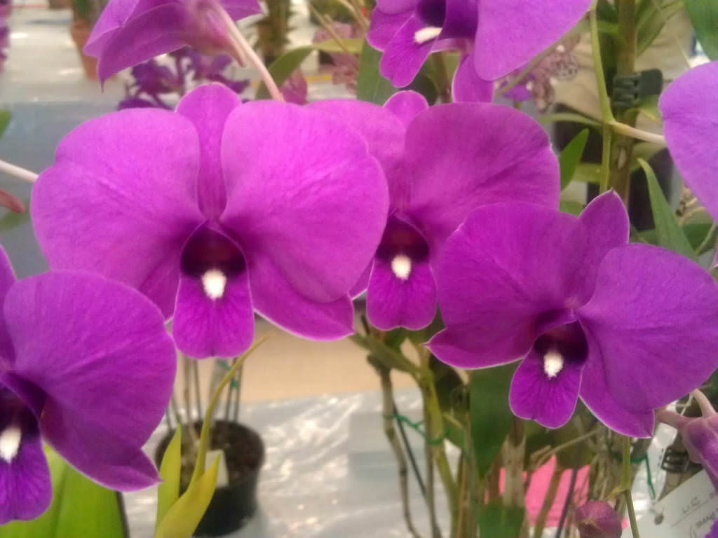 Dendrobium Bigibbum Cooktown Orchid World Of Flowering