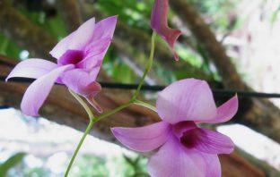 Dendrobium bigibbum - Cooktown Orchid