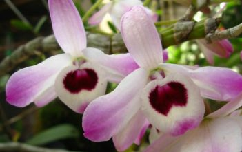Dendrobium nobile - Noble Dendrobium