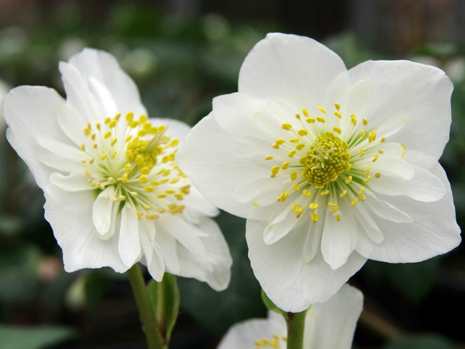 helleborus niger  christmas rose