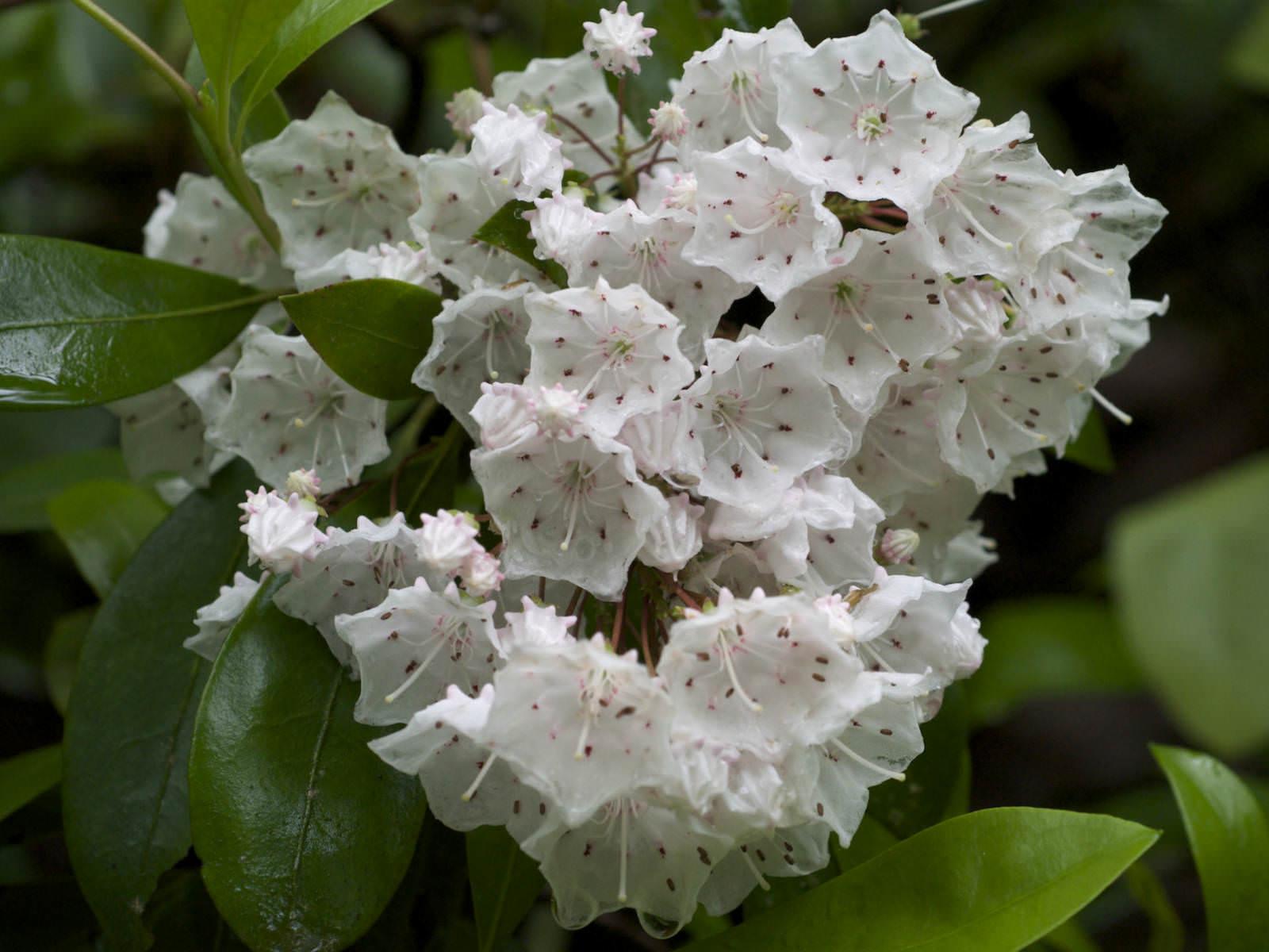 Kalmia Latifolia Mountain Laurel World Of Flowering Plants