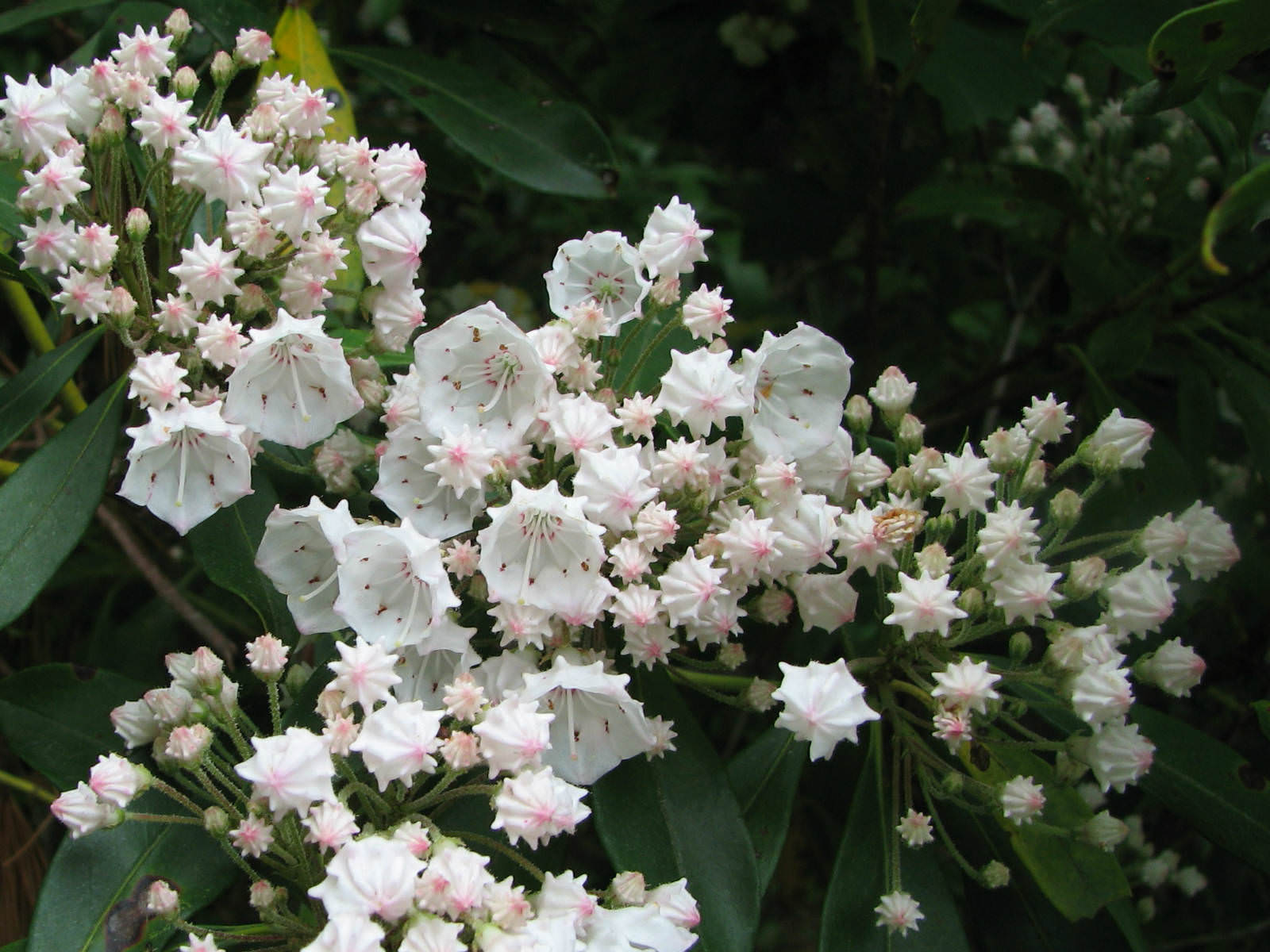 Kalmia Latifolia  Mountain Laurel