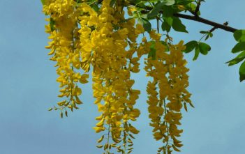 Laburnum anagyroides - Golden Chain Tree