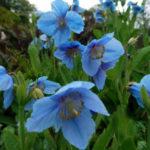 Meconopsis betonicifolia - Himalayan Blue Poppy
