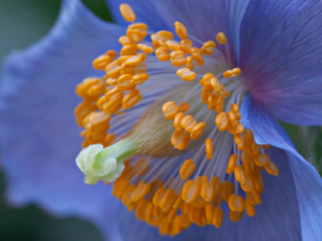 Meconopsis Betonicifolia Himalayan Blue Poppy World Of