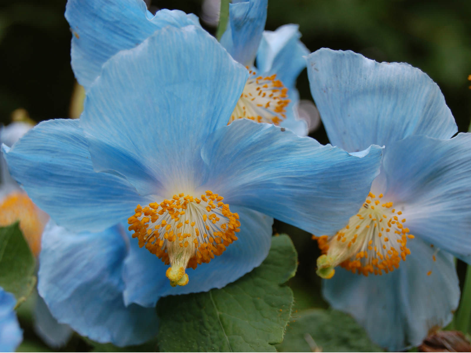 Meconopsis betonicifolia himalayan blue poppy world of flowering the large flowers are deep blue in color with contrasting yellow stamens and up to 4 inches 10 cm in width mightylinksfo