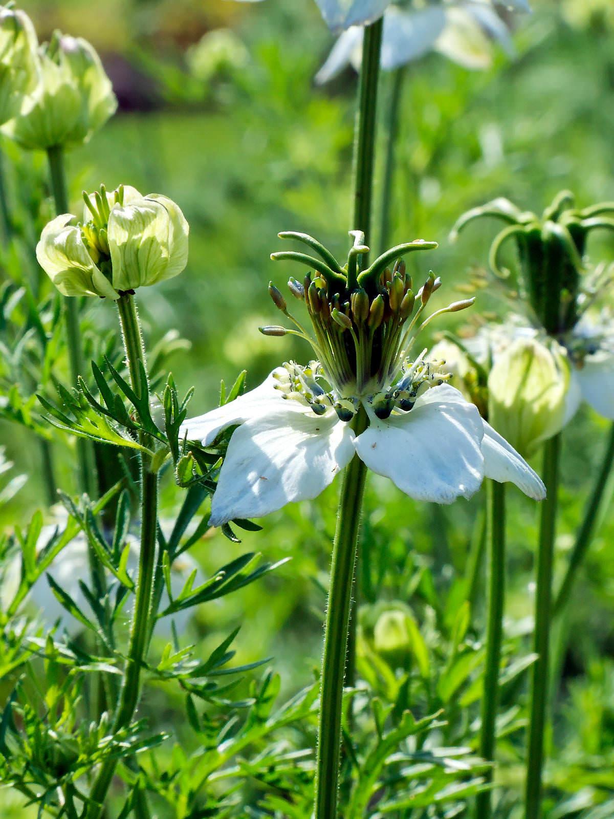 Nigella sativa - Black Cumin | World of Flowering Plants
