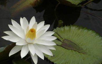 Nymphaea lotus - Tiger Lotus