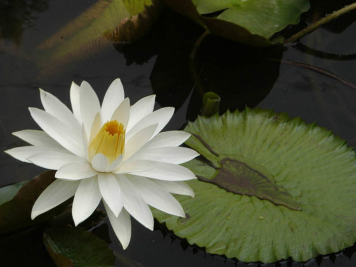 Nymphaea lotus - Tiger Lotus