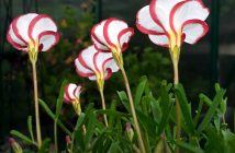 Oxalis versicolor - Candy Cane Sorrel