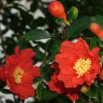 Punica granatum - Pomegranate