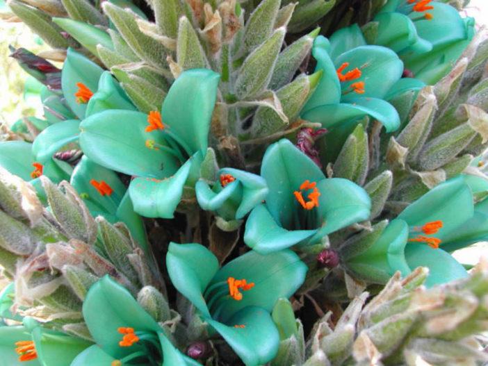 Puya berteroniana - Blue Puya