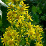 Solidago virgaurea - European Goldenrod